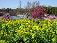 菜の花と梅.JPG