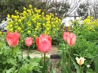 H3103チューリップ&菜の花.JPG