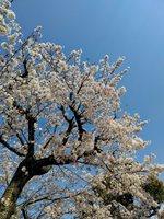202004桜.JPG
